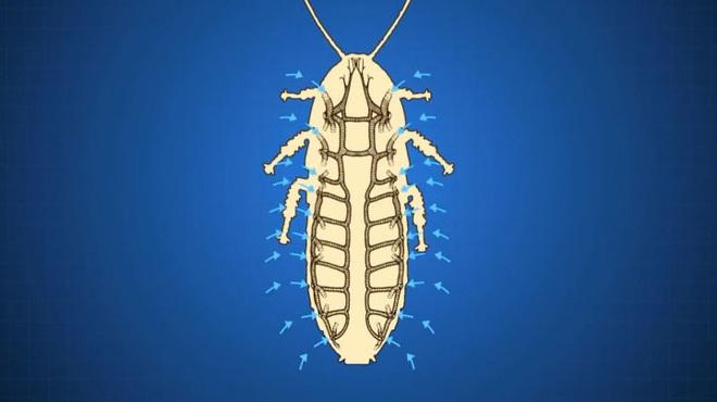 Tại sao côn trùng lại có kích thước nhỏ bé như vậy? Vì sao con gián mất đầu mà vẫn có thể sống và hô hấp bình thường? - Ảnh 4.