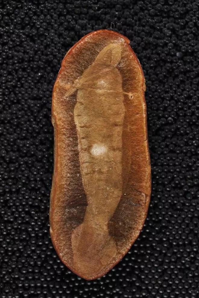 Loài sinh vật cổ đại có hình dáng chẳng giống ai khiến các nhà khoa học tranh cãi 60 năm mà vẫn chưa có kết quả - Ảnh 3.