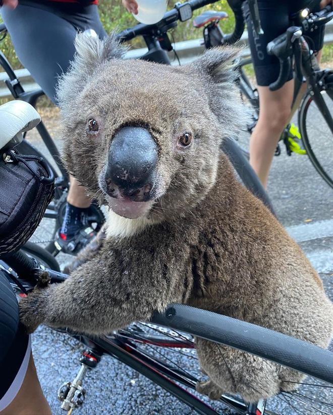 Úc: Kiệt quệ vì nắng nóng, chú gấu túi leo luôn lên xe đạp của người lạ để xin nước uống, một hơi tu sạch cả bình - Ảnh 4.