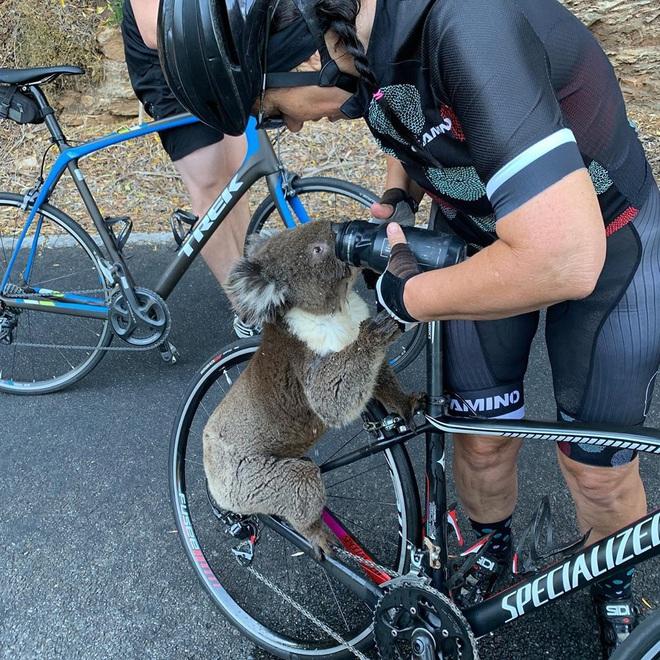 Úc: Kiệt quệ vì nắng nóng, chú gấu túi leo luôn lên xe đạp của người lạ để xin nước uống, một hơi tu sạch cả bình - Ảnh 3.