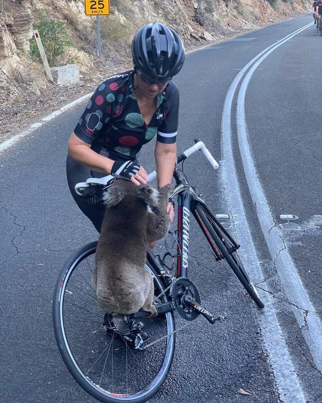 Úc: Kiệt quệ vì nắng nóng, chú gấu túi leo luôn lên xe đạp của người lạ để xin nước uống, một hơi tu sạch cả bình - Ảnh 2.
