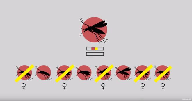 Thả muỗi biến đổi gen vào tự nhiên: Một giải pháp mạo hiểm để kiềm chế dịch bệnh - Ảnh 5.
