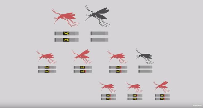 Thả muỗi biến đổi gen vào tự nhiên: Một giải pháp mạo hiểm để kiềm chế dịch bệnh - Ảnh 4.