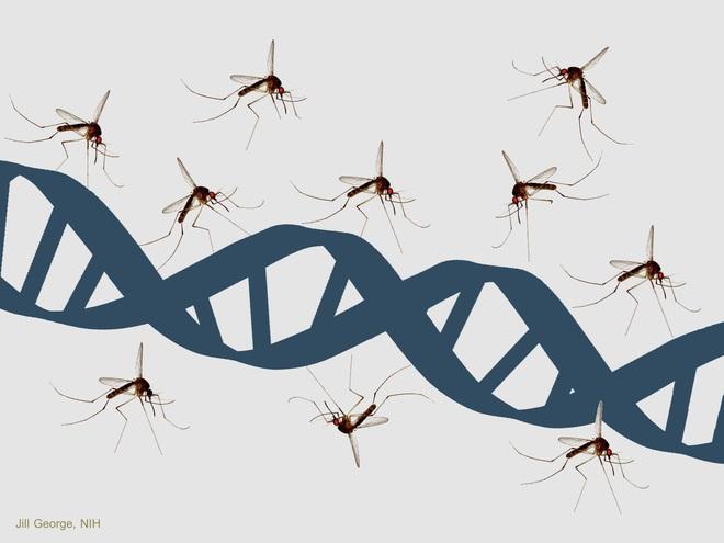 Thả muỗi biến đổi gen vào tự nhiên: Một giải pháp mạo hiểm để kiềm chế dịch bệnh - Ảnh 2.