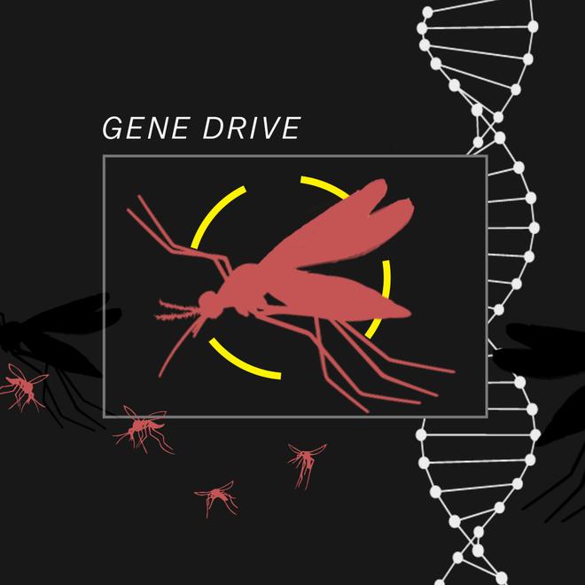 Thả muỗi biến đổi gen vào tự nhiên: Một giải pháp mạo hiểm để kiềm chế dịch bệnh - Ảnh 6.