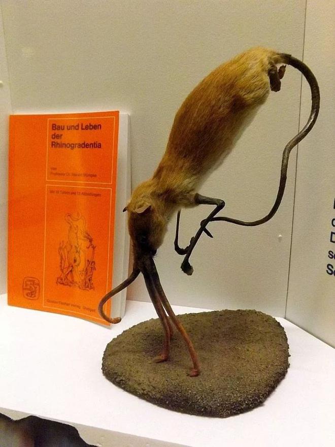 Nosewalkers - loài động vật kì lạ nhất Trái Đất, dù có chân nhưng lại dùng mũi để di chuyển - Ảnh 9.