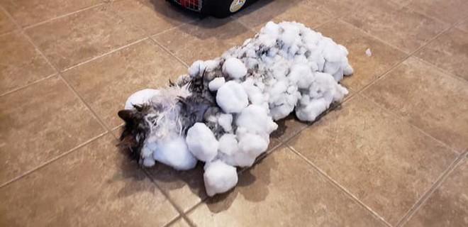 Một con mèo Mỹ hồi sinh sau khi chết cóng ngoài thời tiết dưới 0 độ - Ảnh 1.