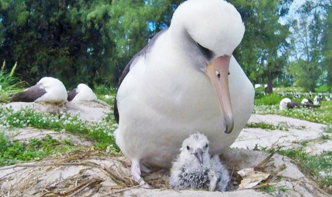 Con chim thọ nhất thế giới nay đã gần 70 tuổi nhưng vẫn sống khỏe và đẻ liên tục - Ảnh 2.