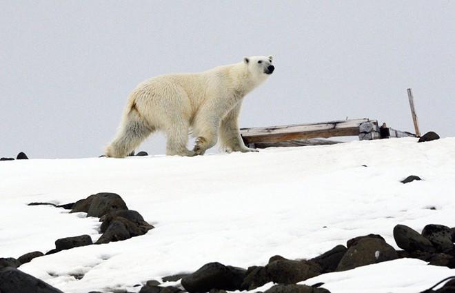 Bị xâm lăng bởi binh đoàn 52 con gấu trắng, quần đảo Nga phải ban bố tình trạng khẩn cấp - Ảnh 2.