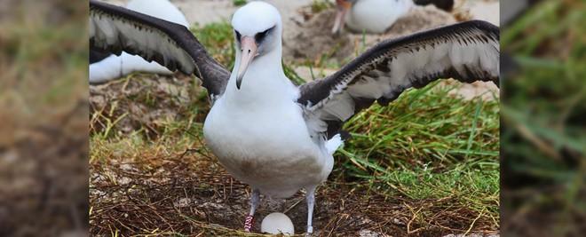 Con chim thọ nhất thế giới nay đã gần 70 tuổi nhưng vẫn sống khỏe và đẻ liên tục - Ảnh 1.