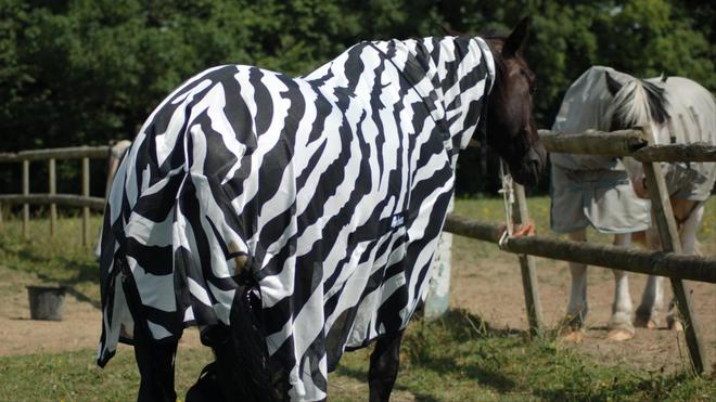Các nhà khoa học cho ngựa thường mặc áo kẻ trắng đen để nghiên cứu xem tại sao lại có ngựa vằn trên đời - Ảnh 2.