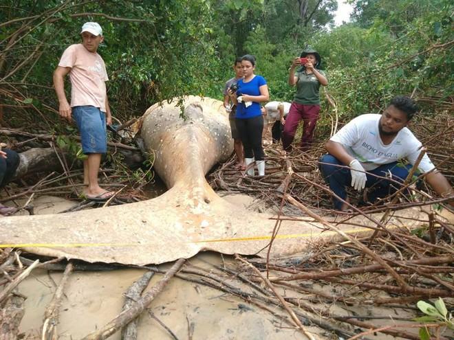 Xác cá voi dài 8m được phát hiện giữa rừng rậm Amazon khiến dân tình ngáo ngơ chẳng hiểu gì - Ảnh 3.