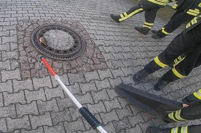 Đức: Chuột béo đến nỗi mắc kẹt ở nắp cống, 7 lính cứu hỏa phải toát mồ hôi mới cứu được - Ảnh 3.
