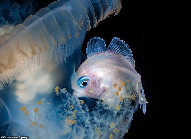 Những sinh vật biển phát sáng tuyệt đẹp của đáy Thái Bình Dương sẽ khiến bạn mê mẩn - Ảnh 13.