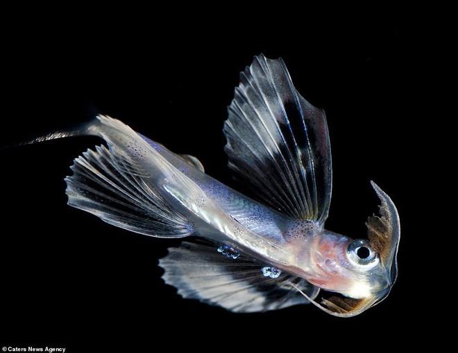 Những sinh vật biển phát sáng tuyệt đẹp của đáy Thái Bình Dương sẽ khiến bạn mê mẩn - Ảnh 6.