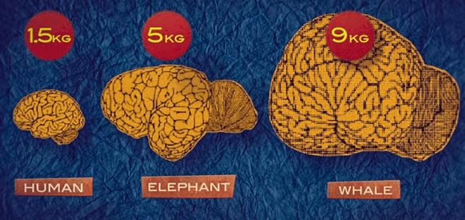 Não bạn nặng bao nhiêu kg? Đâu là những loài vật có não nhỏ nhất và lớn nhất? - Ảnh 2.