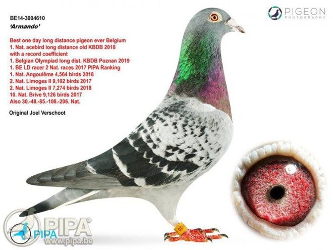 Một con bồ câu Bỉ được người chơi chim Trung Quốc mua với giá 32,5 tỷ - Ảnh 1.