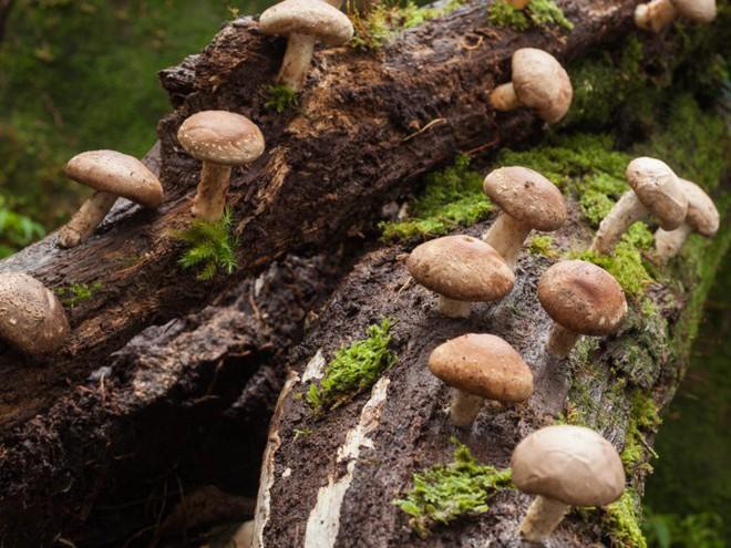 Nghiên cứu mới: Ăn nhiều nấm để phòng chống thoái hóa thần kinh khi về già - Ảnh 3.
