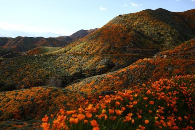 Xót xa đồi hoa California khổng lồ cực hiếm bị phá hoại chỉ vì làn sóng Instagram thích sống ảo - Ảnh 1.