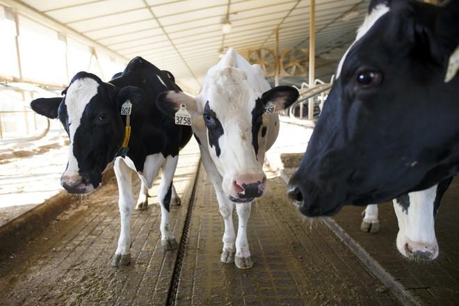 Bò sữa ở Anh đã có 5G dùng nhưng người thì chưa - Ảnh 1.