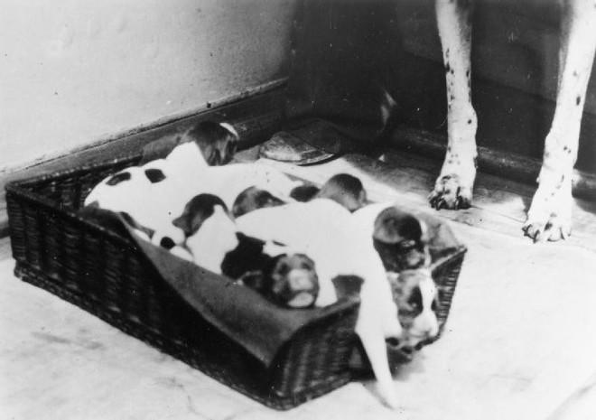 Những người lính bốn chân: cô chó Judy, tù binh chiến tranh đặc biệt của Thế Chiến thứ Hai - Ảnh 3.