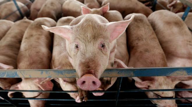 Các nhà khoa học Mỹ tuyên bố hồi sinh được não lợn đã chết sau 4 tiếng, đột phá này có ý nghĩa thế nào? - Ảnh 1.