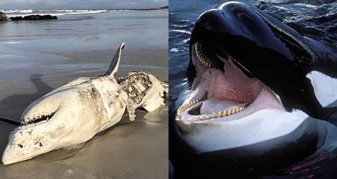 Tưởng đứng đầu chuỗi thức ăn nhưng cá mập trắng phải sợ hãi đến mức bỏ chạy trước loài vật này - Ảnh 3.