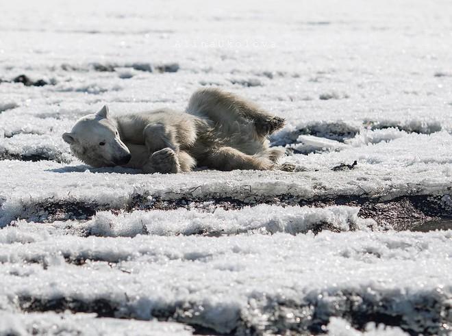 Phát hiện con gấu Bắc Cực dạt nhà, đi hơn 700 km để xin ăn - Ảnh 1.
