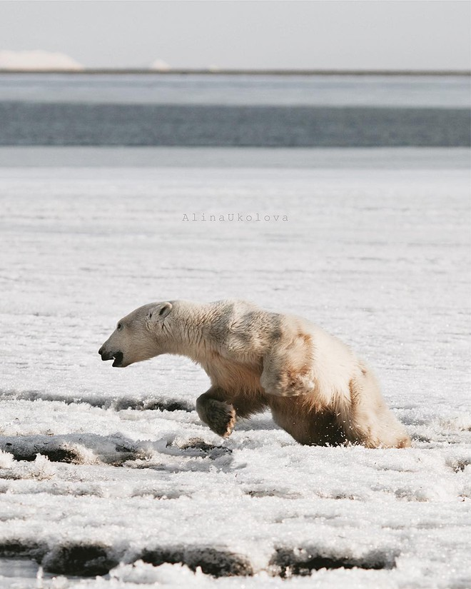 Phát hiện con gấu Bắc Cực dạt nhà, đi hơn 700 km để xin ăn - Ảnh 2.