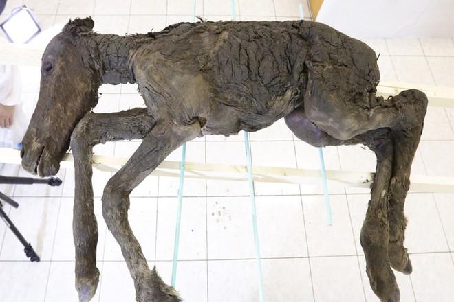 Nhân bản loài ngựa tiền sử đã tuyệt chủng, từ mẫu máu còn sót lại trong băng vĩnh cửu - Ảnh 1.