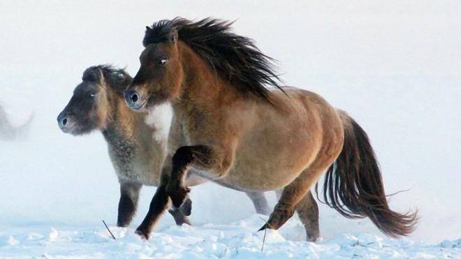 Nhân bản loài ngựa tiền sử đã tuyệt chủng, từ mẫu máu còn sót lại trong băng vĩnh cửu - Ảnh 3.