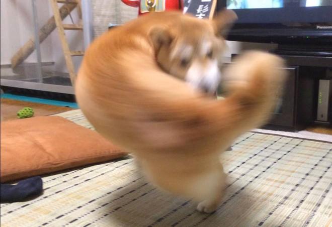 Khoảnh khắc chú chó Shiba quay đầu tung nắm đấm không trượt phát nào như Saitama bất ngờ gây sốt trên MXH - Ảnh 1.