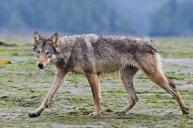 Gặp gỡ loài sói hiếm biết bơi và thích ăn hải sản - Ảnh 1.