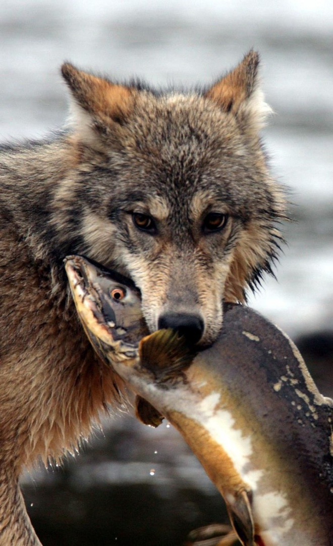 Gặp gỡ loài sói hiếm biết bơi và thích ăn hải sản - Ảnh 4.