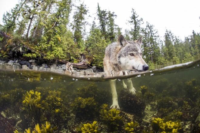 Gặp gỡ loài sói hiếm biết bơi và thích ăn hải sản - Ảnh 3.