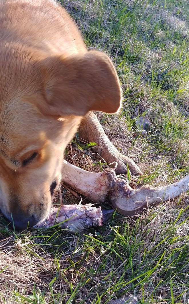 Canada: Bắt quả tang gấu hối lộ xương cho chó để vào nhà dân bới thùng rác - Ảnh 4.
