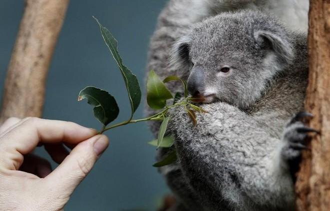 Nước Úc tuyên bố gấu túi koala đã tuyệt chủng về mặt chức năng - Ảnh 2.