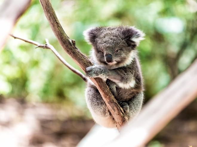Nước Úc tuyên bố gấu túi koala đã tuyệt chủng về mặt chức năng - Ảnh 1.