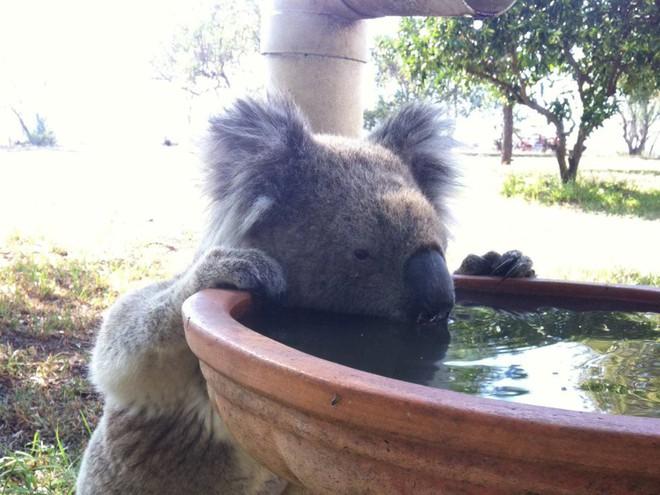 Nước Úc tuyên bố gấu túi koala đã tuyệt chủng về mặt chức năng - Ảnh 3.