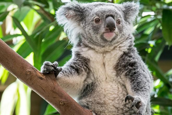 Nước Úc tuyên bố gấu túi koala đã tuyệt chủng về mặt chức năng - Ảnh 4.