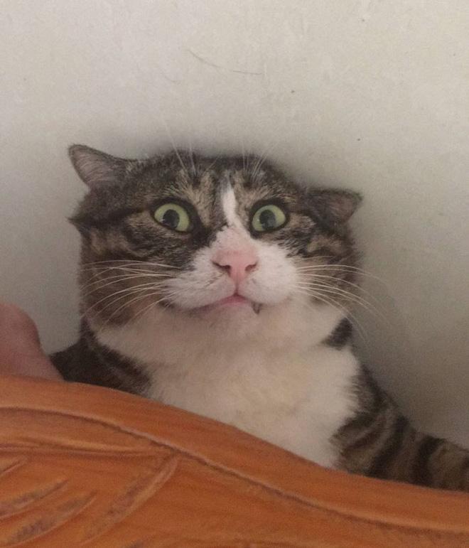 Mèo béo cơ nhỡ bỗng thành ngôi sao internet vì biểu cảm khó đỡ trong mọi khung hình - Ảnh 5.