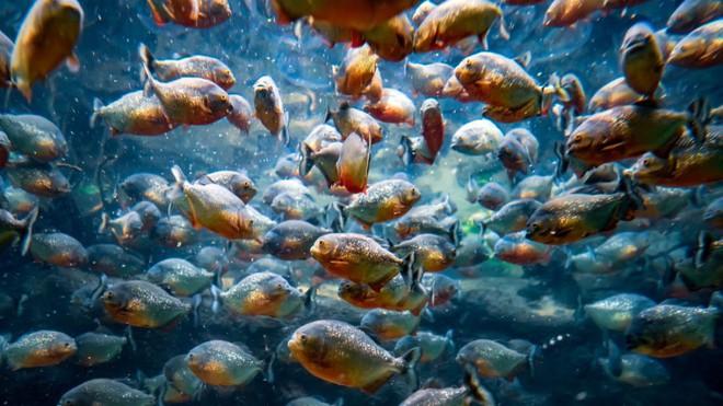 Loài người thực sự nợ cá Piranha khét tiếng Amazon một lời xin lỗi: chúng đáng sợ là do con người - Ảnh 4.
