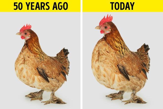 Sự thật về những miếng ức gà có sọc trắng: Ăn cũng không sao, nhưng đằng sau là một sự thật đáng buồn - Ảnh 2.
