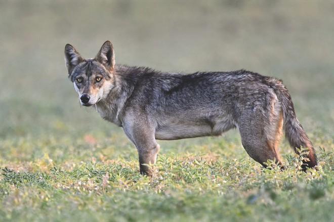 Lần đầu xuất hiện sau 70 năm, con sói xám Ấn Độ quý hiếm lại bị nông dân đánh đập đến chết - Ảnh 2.