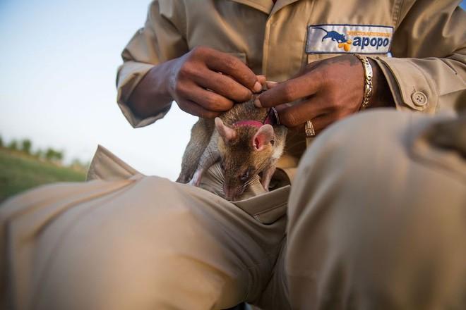 Chuyện lạ: Những con chuột to như chó con được người Campuchia dùng để dò mìn - Ảnh 4.