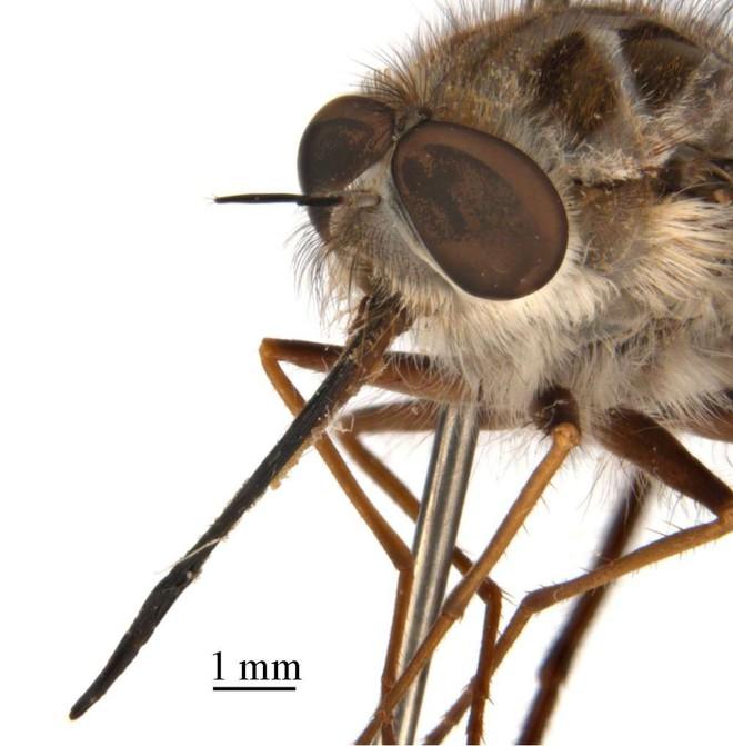 Phát hiện loài ruồi thường xuất hiện vào mùa đông, đầu có sừng, thân như phủ băng tuyết, các nhà khoa học đặt luôn tên là Nightking - Ảnh 3.