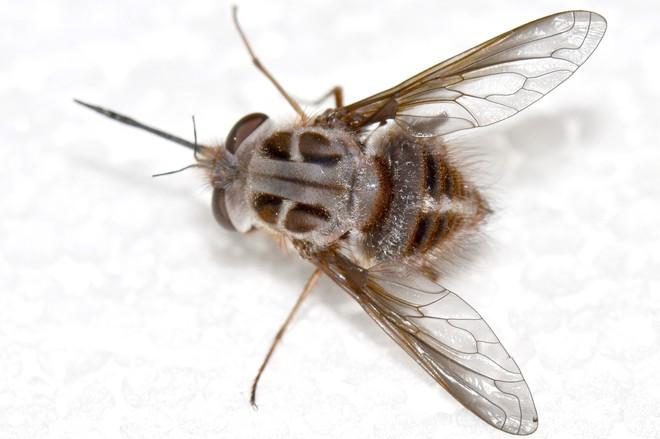 Phát hiện loài ruồi thường xuất hiện vào mùa đông, đầu có sừng, thân như phủ băng tuyết, các nhà khoa học đặt luôn tên là Nightking - Ảnh 2.