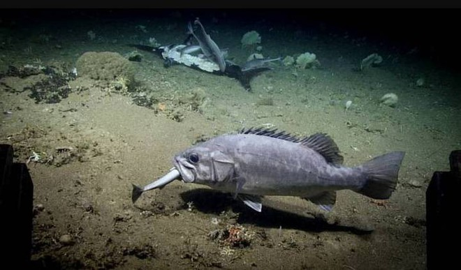 """Xem cảnh con cá mập xấu số bị một loài cá sống ở dưới đáy đại dương """"tiêu diệt"""" trong chớp nhoáng - Ảnh 2."""