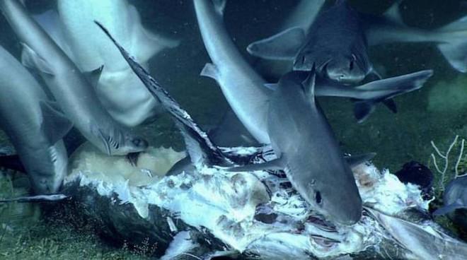 """Xem cảnh con cá mập xấu số bị một loài cá sống ở dưới đáy đại dương """"tiêu diệt"""" trong chớp nhoáng - Ảnh 1."""