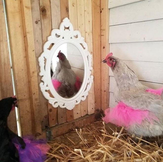 Chùm ảnh: Khi lũ gà mặc váy múa ba lê hóa ra lại đáng yêu khó cưỡng như thế này - Ảnh 12.